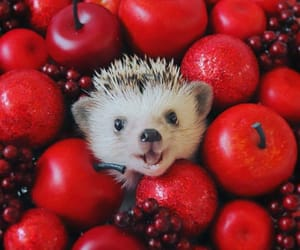adorable, berries, and hedgehog image
