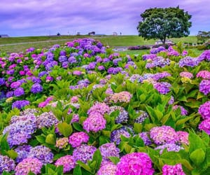 flowers, hydrangea, and japan image