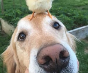animals, duck, and dog image