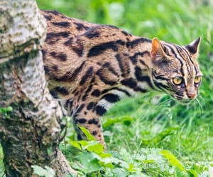 animal, asian leopard cat, and big cat image