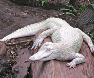 albino and reptile image