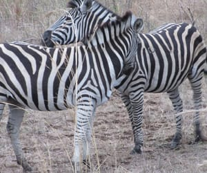 travels, animaux, and zebra image