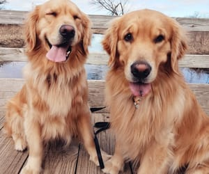 dog, animal, and golden retriever image