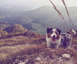 aussie, australian shepherd, and autumn image