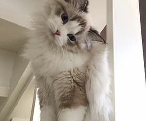 cat, fluffy, and cute image
