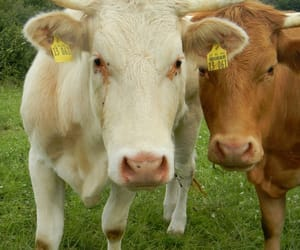 adventure, animals, and cows image