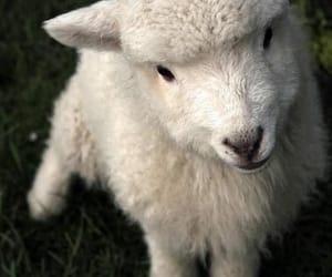 sheep, lamb, and animal image