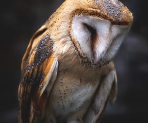 animals, barn owl, and nature image