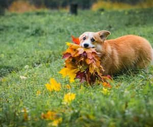 autumn, corgi, and nature image