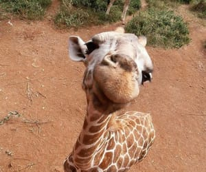 animal, giraffe, and cute image