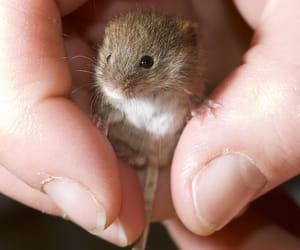 mouse, animal, and cute image