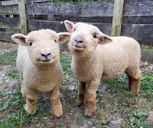 sheep, cute, and animals image