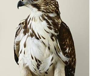 birds, photography, and hawk image
