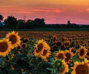 sunflower, beautiful, and flowers image