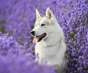 baby, siberian husky, and dog image