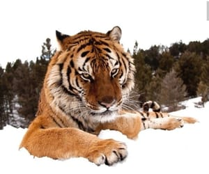 mad, snow, and tiger image