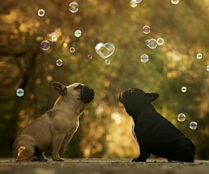 animal, bubbles, and frenchie image