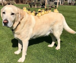 animals, dog, and duck image