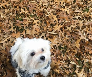 autumn, leaves, and maltese image