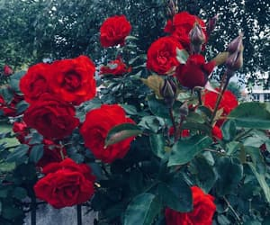 flower, red roses, and roses image