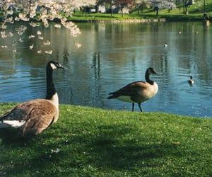 animals, ducks, and new york image