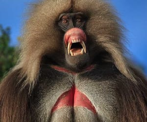 baboon, old world, and handsome guy image