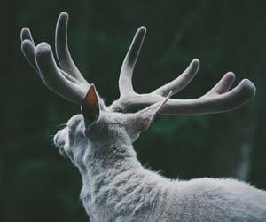 deer, white, and animal image
