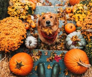 autumn, fall, and dog image