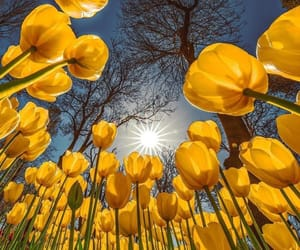 nature, tulips, and yellow image