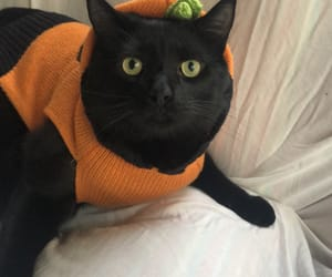 animals, autumn, and black cat image