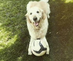 dogs, golden retriever, and self made image