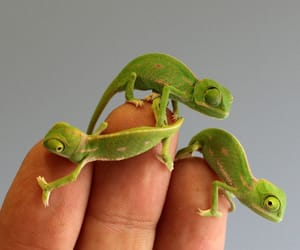 animal, chameleon, and nature image