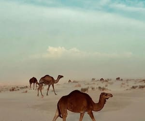 beautiful, scenic, and camels image
