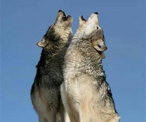 wolf and howling image