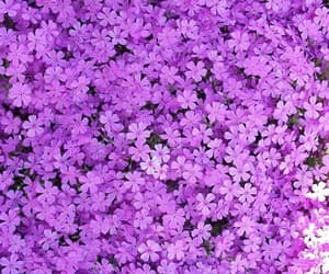 beautiful, flowers, and lilac image