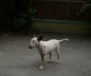 bullterrier, dog, and white image
