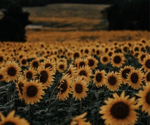 sunflowers, flowers, and love image