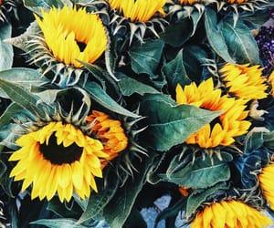Sunflower 🌻   http://www.instagram.com/oksnocka