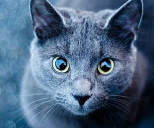 cat, russian blue, and russian blue cat image