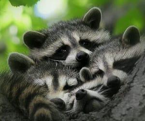 animals, raccoon, and nature image