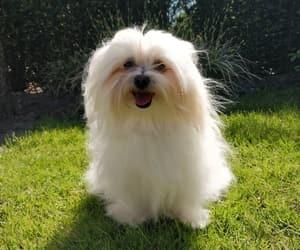 fluffy, maltese, and white image