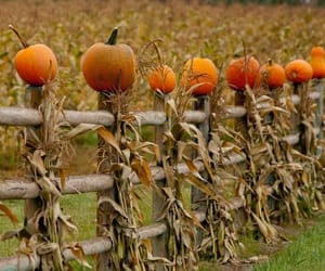 Halloween, pumpkin, and cornstalks image