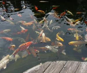 fish, koi fish, and koi image