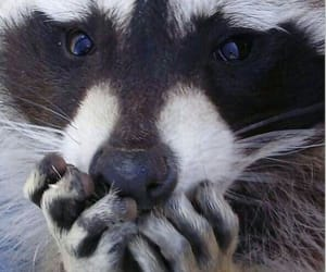 animal, raccoon, and black and white image