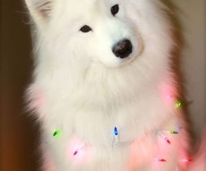 dog, light, and Samoyed image