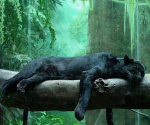 panther, animal, and black image