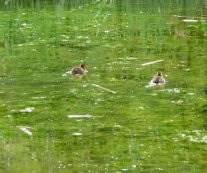 animal, pond, and water image