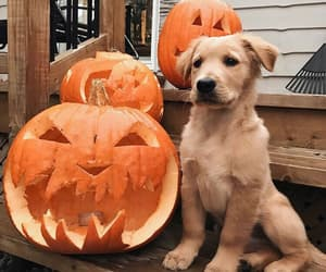 dog, animal, and pumpkin image
