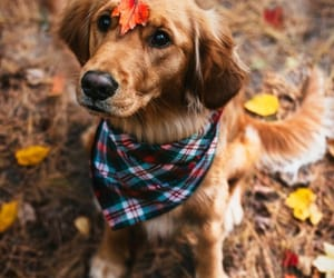 animal, dog, and autumn image
