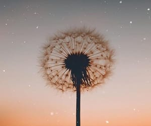 wallpaper, background, and dandelion image